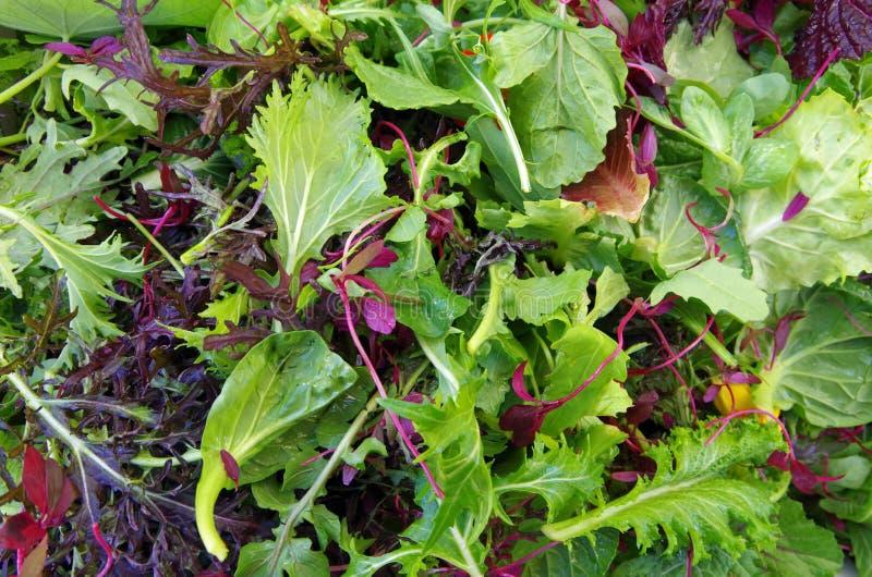 O campo da salada misturada esverdeia o close up foto de stock royalty free