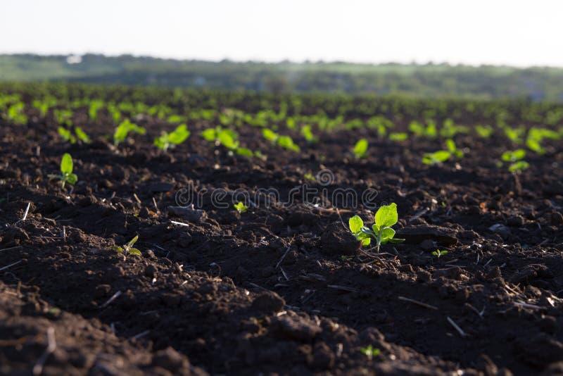 O campo das colheitas torna-se maduro sob o sol foto de stock royalty free
