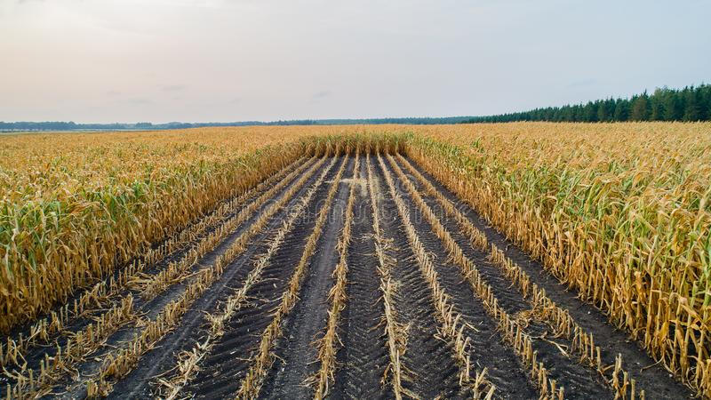 O campo de milho é afetado pela seca imagens de stock royalty free