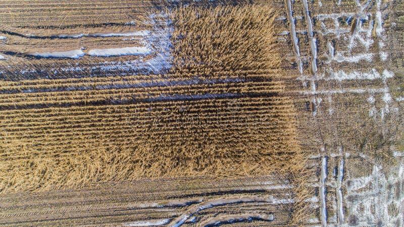 O campo de milho é afetado pela seca da seca no inverno imagens de stock