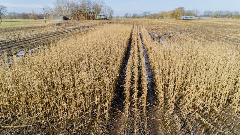O campo de milho é afetado pela seca da seca no inverno foto de stock