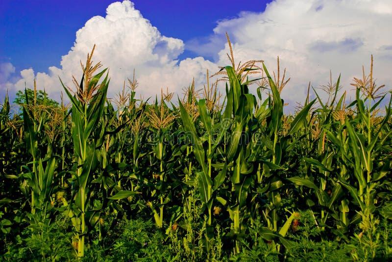O campo de milho fotografia de stock