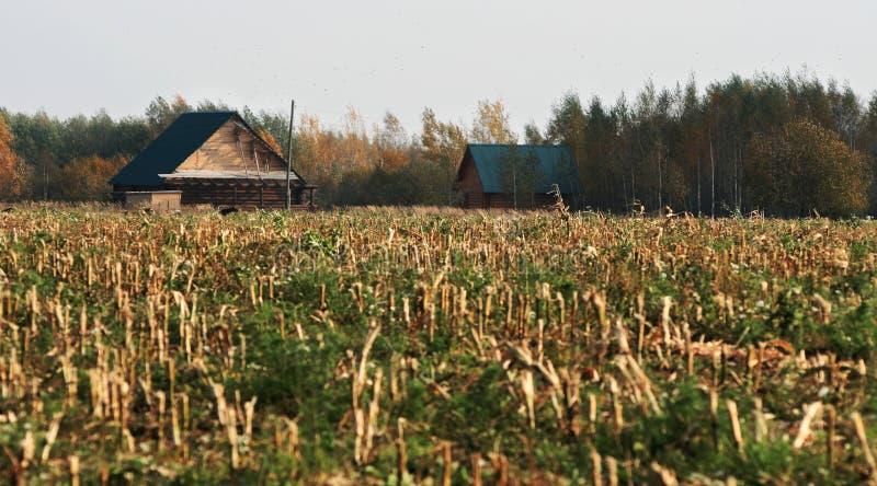 O campo de milho após a colheita imagens de stock