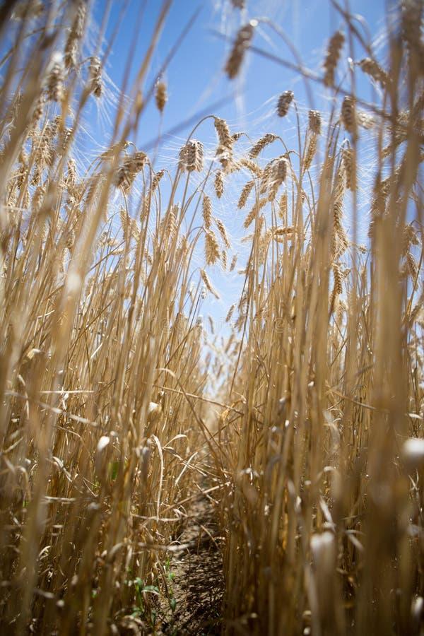 O campo de trigo enfileira o baixo ângulo fotos de stock royalty free