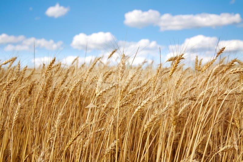O campo de trigo sob o branco nubla-se no céu azul fotografia de stock royalty free