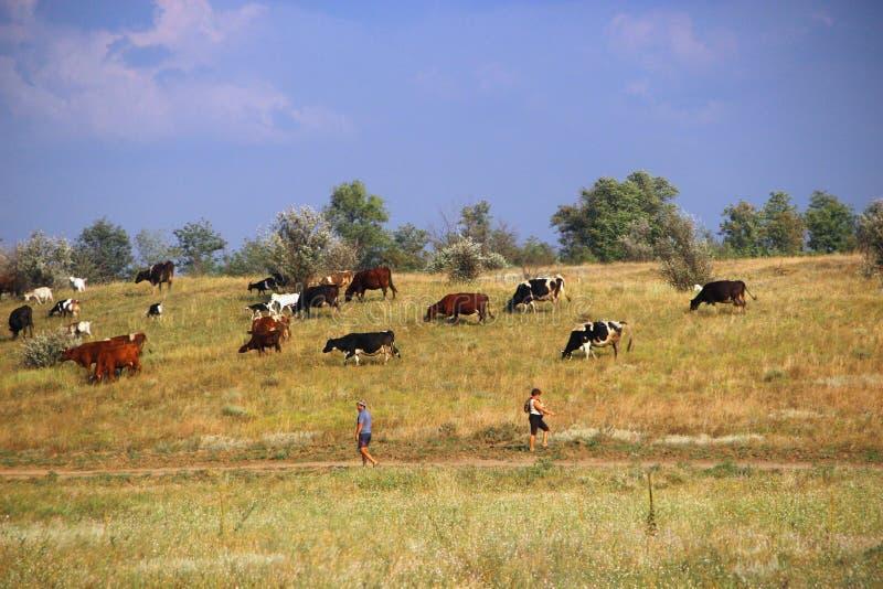 o campo de uma vaca shepherds imagem de stock royalty free