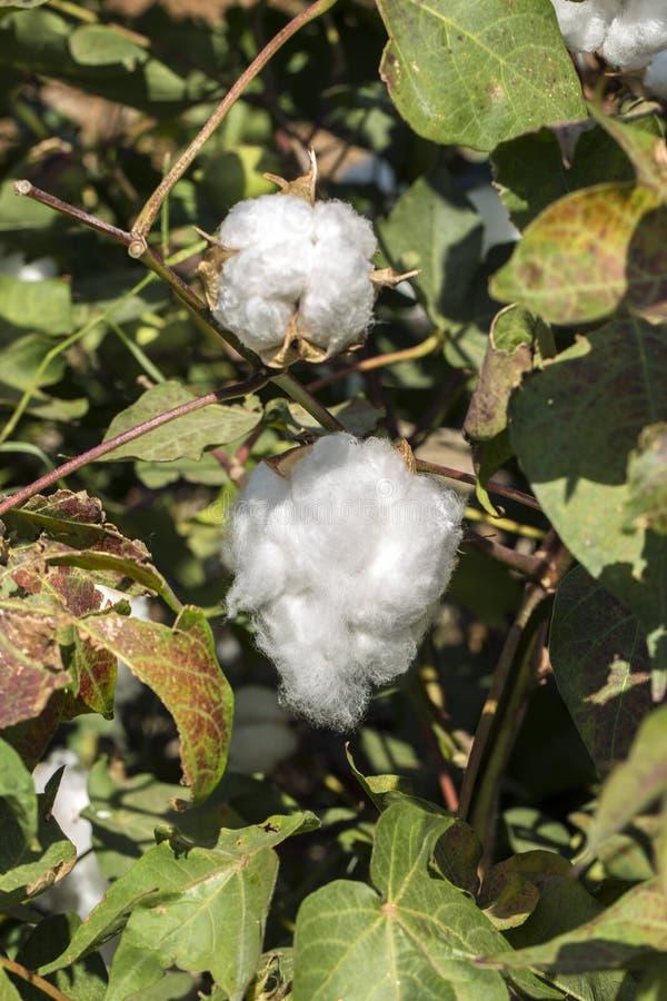 O campo do algodão fotos de stock royalty free