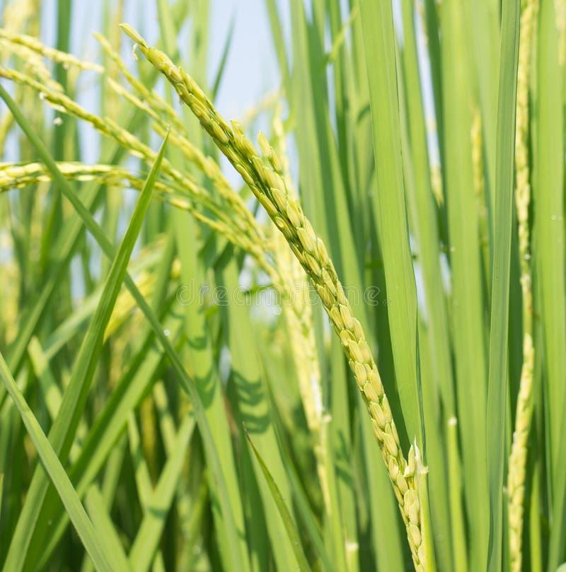 O campo do arroz com verde e amarelo sae em Ásia tailândia foto de stock royalty free