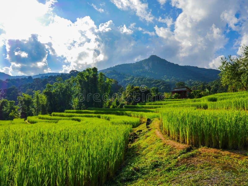O campo do arroz da etapa no norte de Tailândia fotos de stock royalty free