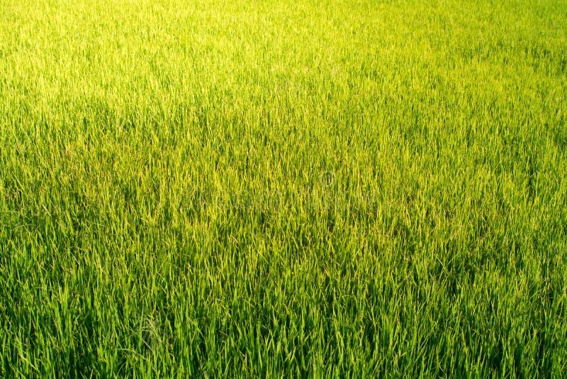 O campo do arroz olha como a grama verde everywhere imagem de stock