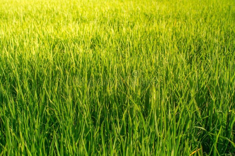 O campo do arroz olha como a grama verde everywhere fotos de stock