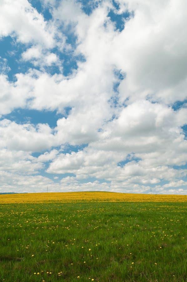 O campo do dente-de-leão amarelo floresce sob o céu nebuloso azul foto de stock royalty free