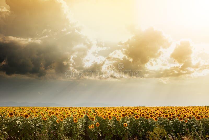 Download O Campo Do Girassol Iluminou-se Pelo Sol Imagem de Stock - Imagem de chuva, nuvens: 10063761