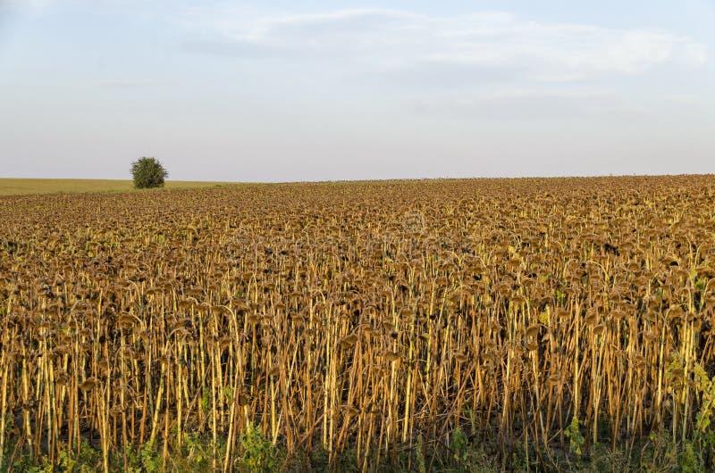 O campo do girassol ou do helianthus annuus com maduro seca uma cabeça do girassol pronta para a colheita as colheitas foto de stock