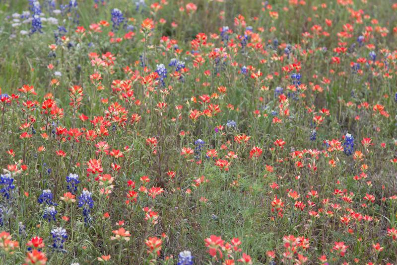 O campo do pintado capota indiana e azul floresce foto de stock royalty free