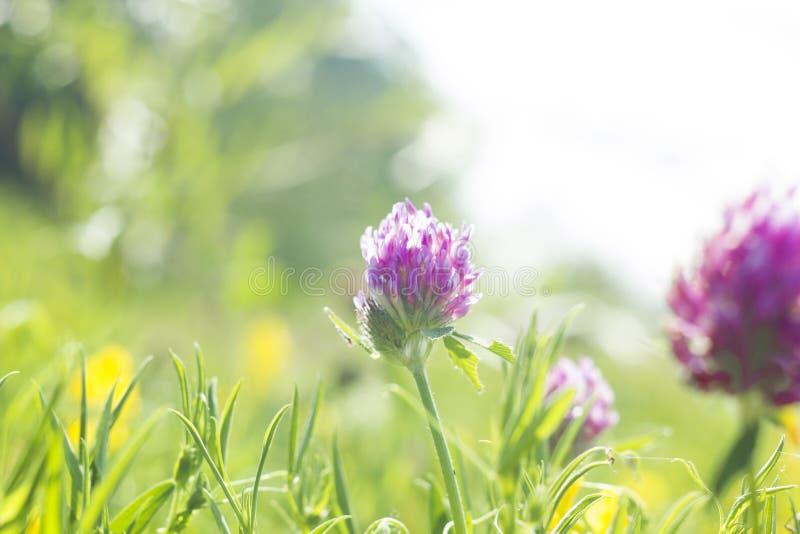 O campo do verão com rosa floresce o trevo, foco macio fotos de stock royalty free