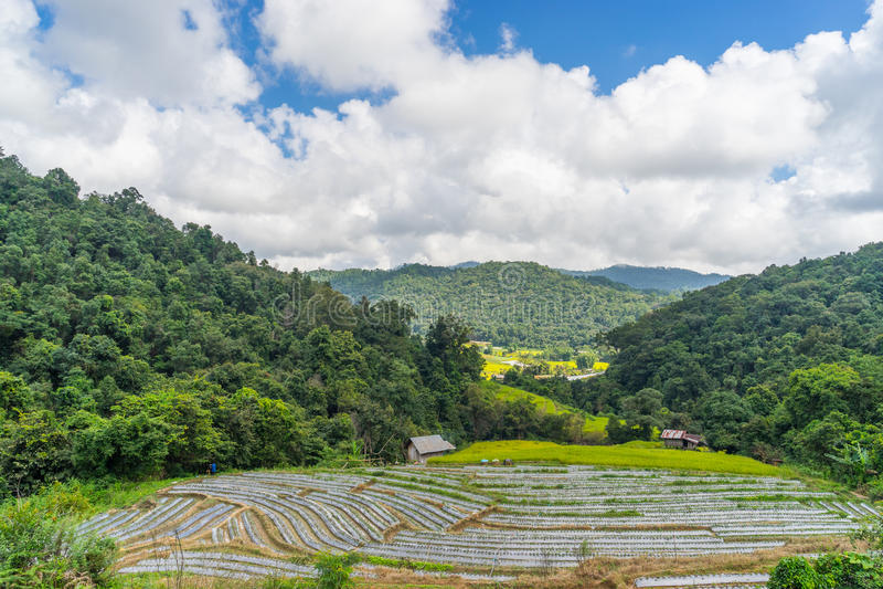 O campo e a morango do arroz cultivam na montanha de Inthanon, Chiang Mai, imagem de stock royalty free