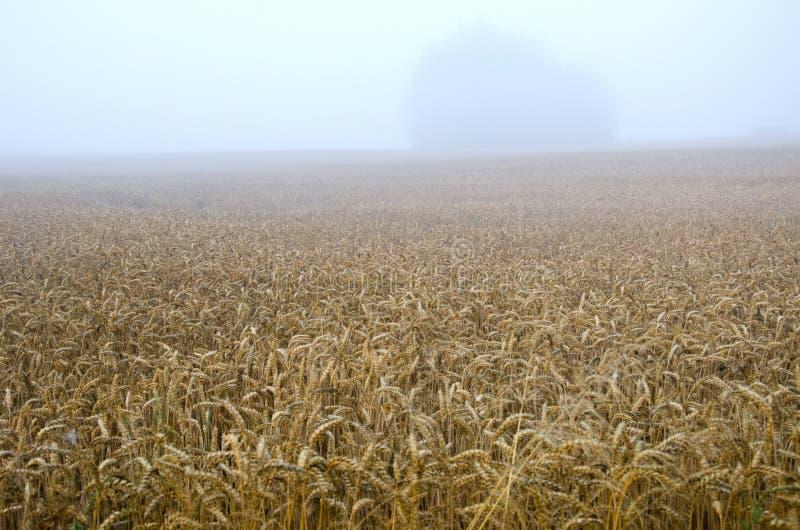 O campo e o amanhecer de trigo da extremidade do verão enevoam a névoa imagens de stock royalty free