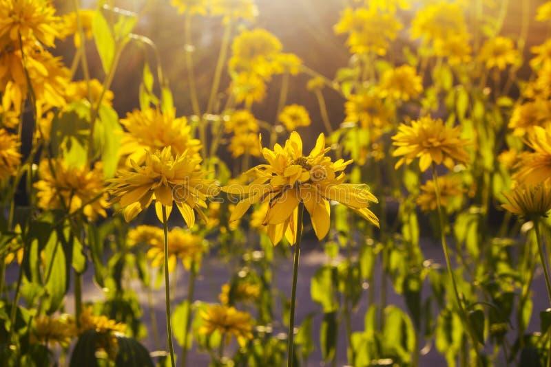 O campo fresco amarelo da margarida, mola de florescência floresce sobre o por do sol morno, prado do wildflower, clareira calma, fotos de stock royalty free