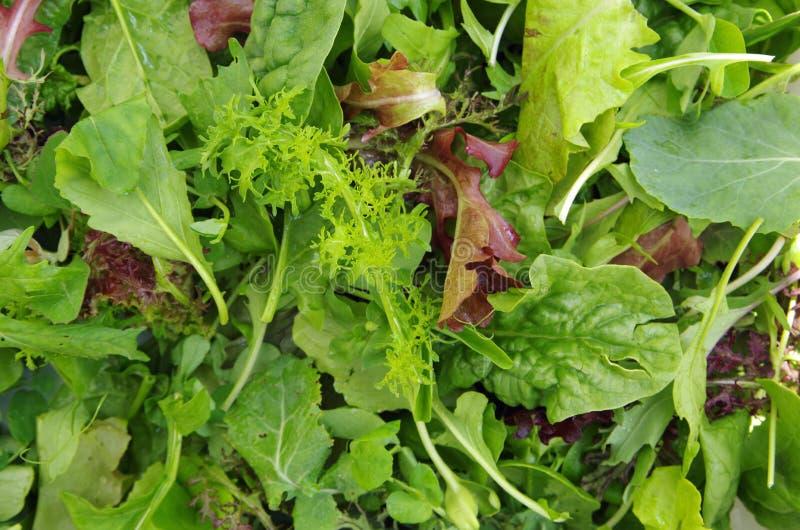O campo fresco da salada misturada esverdeia a opinião empilhada do close up imagem de stock