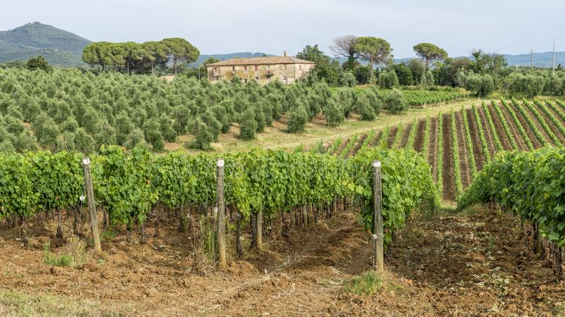 O campo Tuscan bonito perto de Bolgheri, Livorno, Itália, em um dia ensolarado imagens de stock