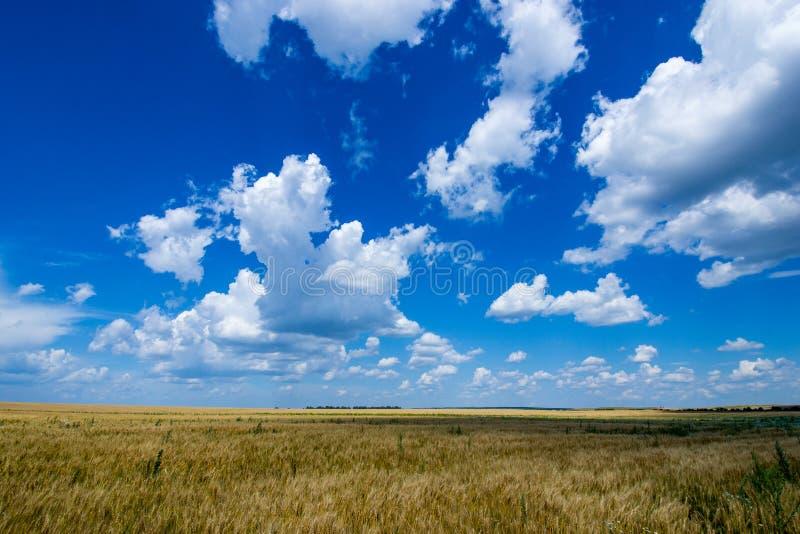O campo vasto do centeio dourado, maduro sob um céu azul rico foto de stock