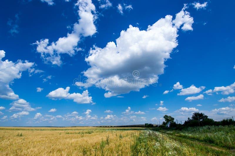 O campo vasto do centeio dourado, maduro sob um céu azul rico fotos de stock royalty free