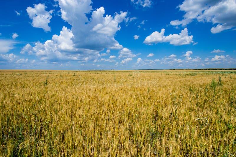 O campo vasto do centeio dourado, maduro sob um céu azul rico imagem de stock