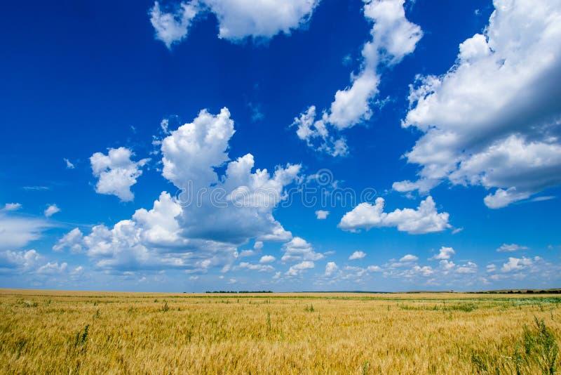 O campo vasto do centeio dourado, maduro sob um céu azul rico foto de stock royalty free