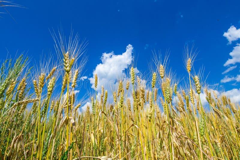 O campo vasto do centeio dourado, maduro sob um céu azul rico imagens de stock royalty free