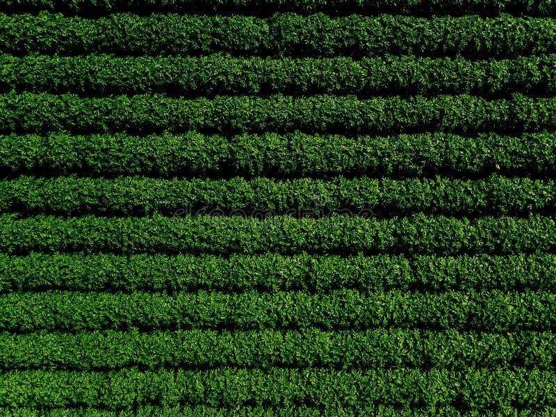 O campo verde do país da batata com fileira alinha, vista superior, foto aérea imagens de stock royalty free