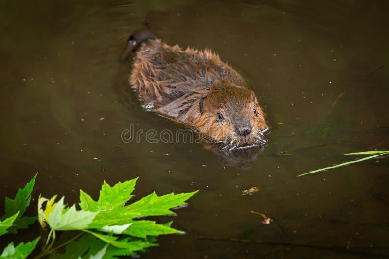 O canadensis norte-americano de Kit Castor do castor nada após as folhas fotografia de stock
