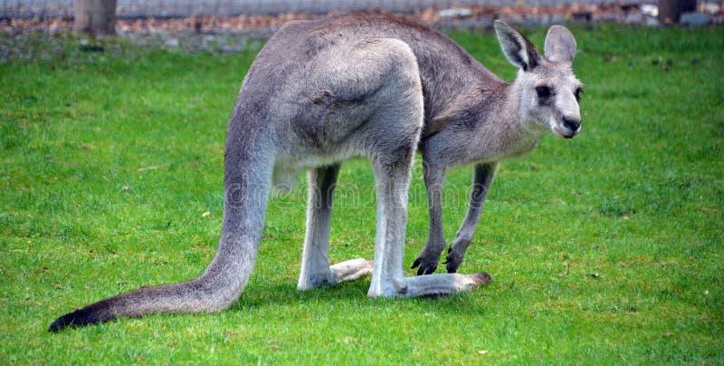 O canguru foto de stock