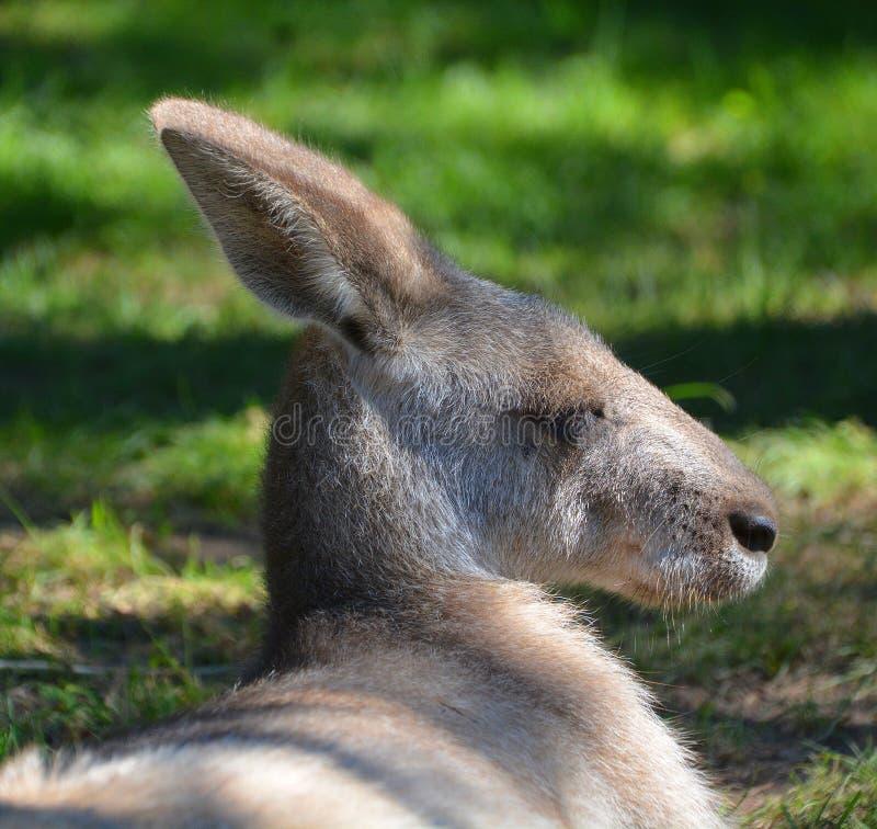 O canguru imagens de stock