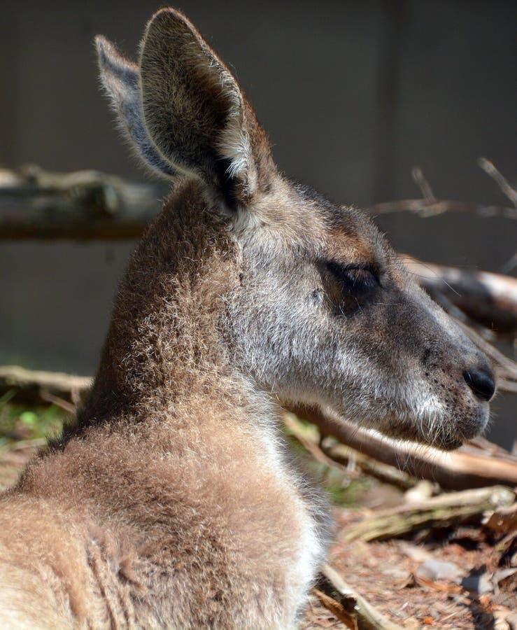 O canguru fotos de stock royalty free
