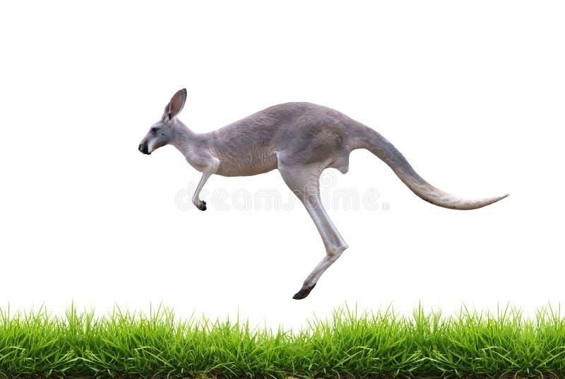 O canguru cinzento salta na grama verde isolada imagens de stock
