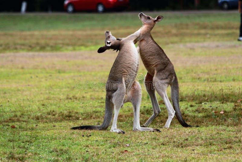 O canguru começou lutar fotografia de stock royalty free