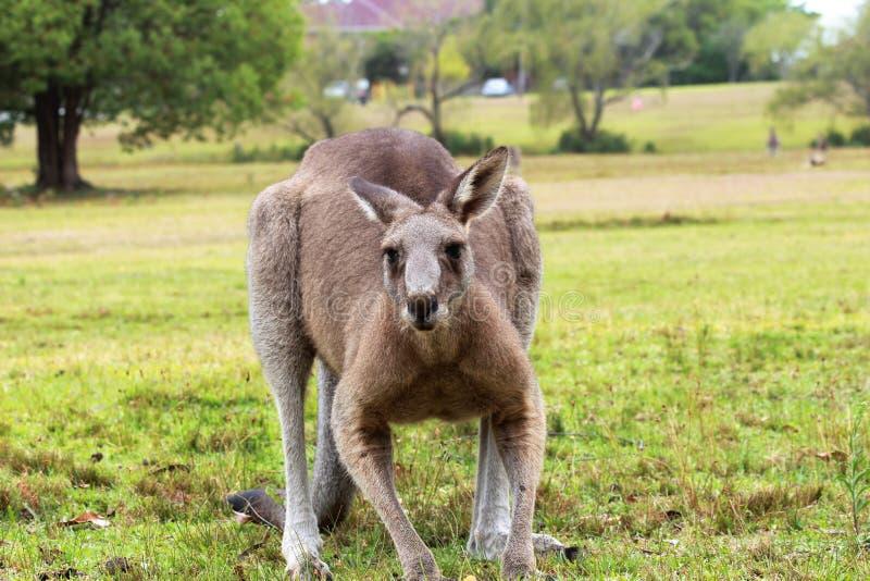 O canguru está esperando para começar o salto imagem de stock royalty free