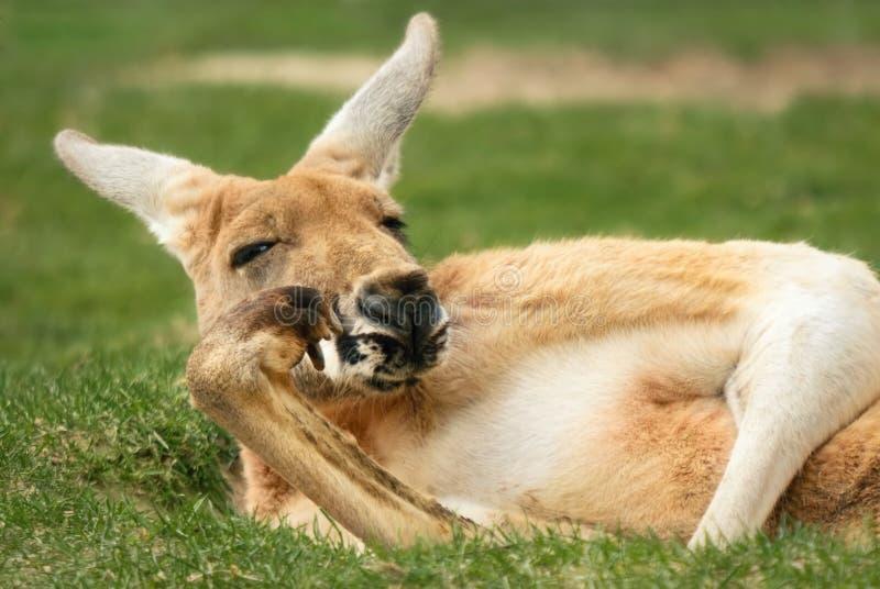 O canguru que levanta muito gosta de um ser humano imagem de stock royalty free