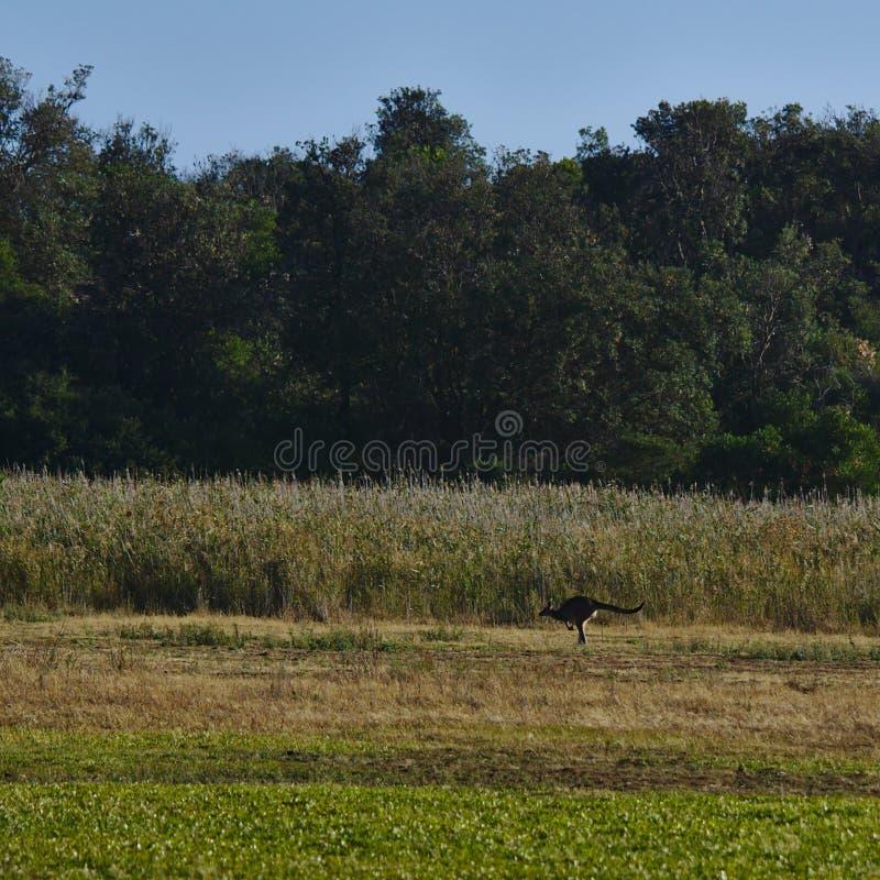 O canguru que salta no campo da grama fotografia de stock royalty free