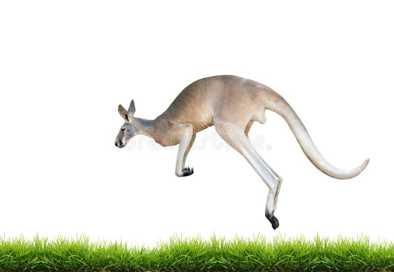 O canguru vermelho salta na grama verde isolada imagem de stock