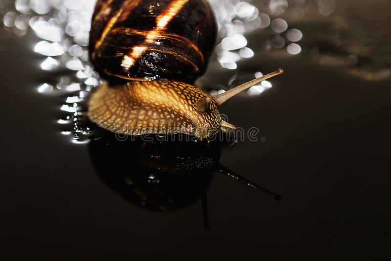 O caracol é uma criatura viva original que seja protegida por um shell e possa viver não somente no selvagem, mas também em casa foto de stock royalty free