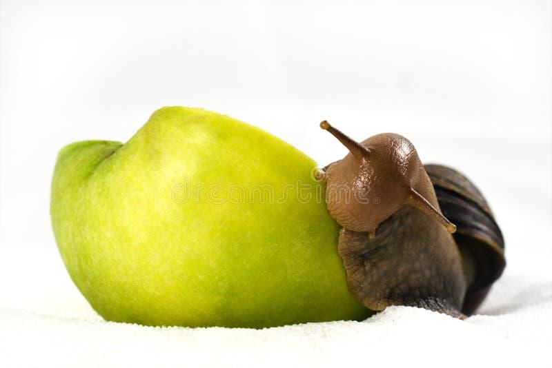 O caracol de Achatina come uma maçã fotos de stock