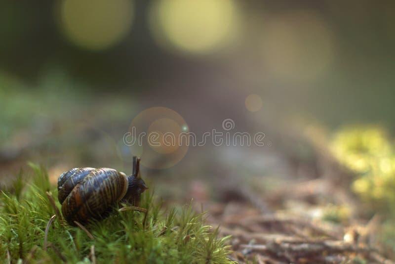 O caracol de jardim acordou na floresta no musgo macio, sai do dissipador e olha ao redor fotografia de stock