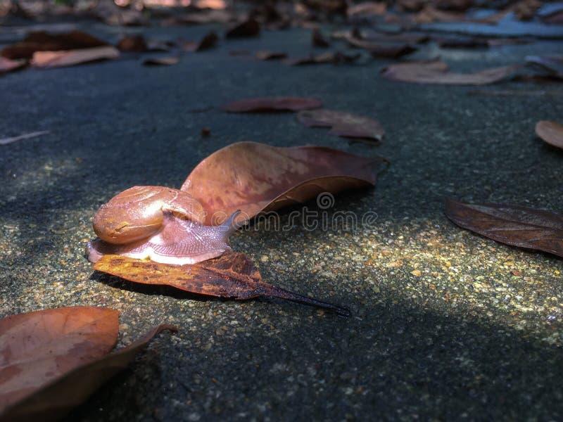 O caracol do close up rasteja no assoalho concreto molhado com folhas secadas fotos de stock