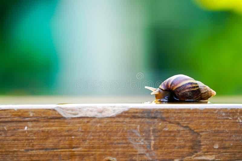 O caracol marrom pequeno est? movendo lentamente sobre a placa de madeira com fundo verde obscuro imagem de stock royalty free