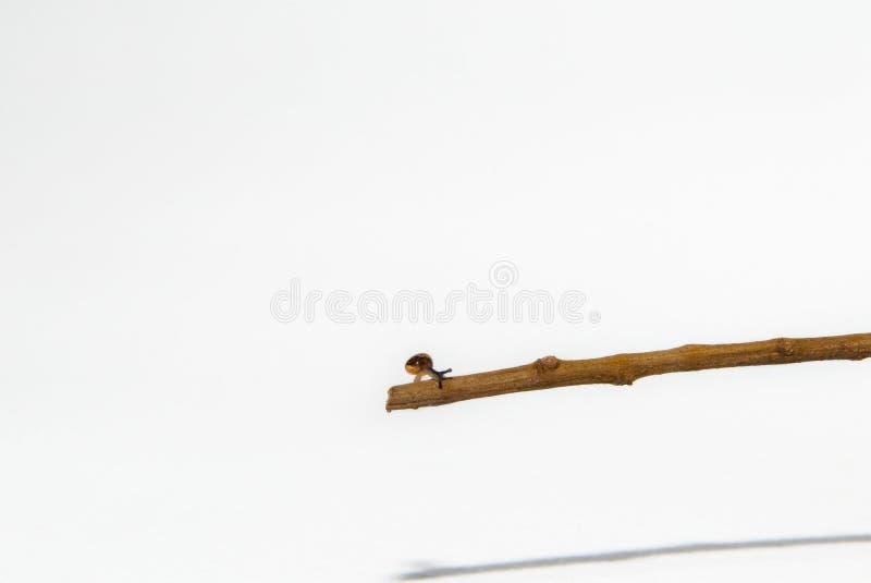 O caracol pequeno em pequeno um ramo isolou o fundo branco imagens de stock