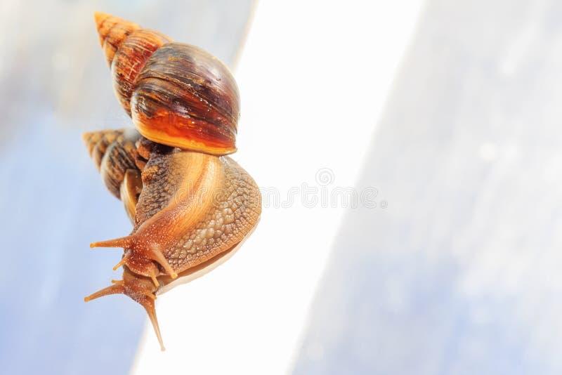 O caracol segrega o muco que senta-se no vidro imagem de stock