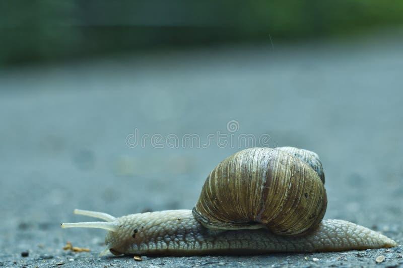 O caracol viaja através da estrada imagens de stock