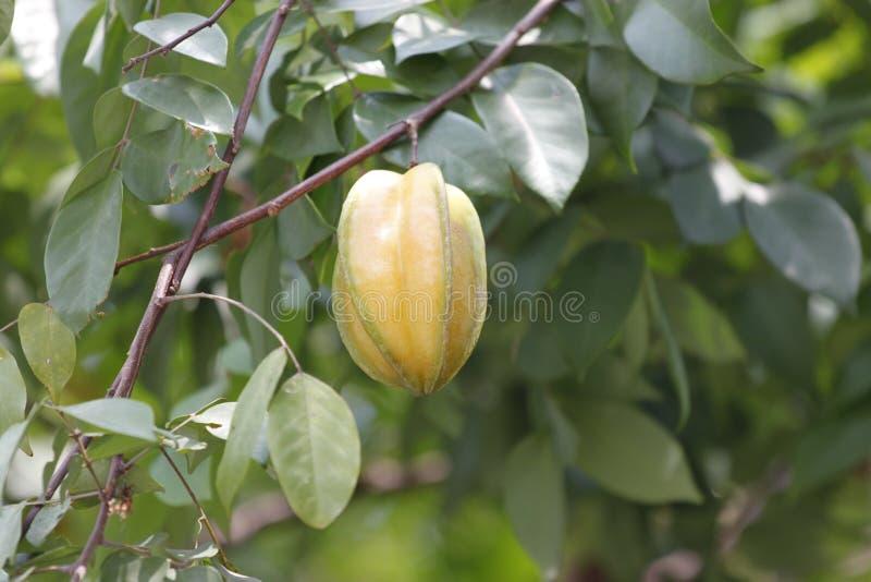 O Carambola ou o starfruit são o fruto em Tailândia imagem de stock royalty free